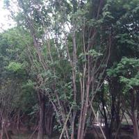 四川五角枫基地,丛生精品熟货五角枫