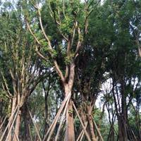 四川精品熟货黄连木基地,丛生黄连木,独杆黄连木
