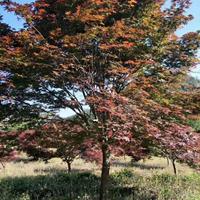 四川日本红枫基地,低分枝日本红枫,青枫批发,熟货红枫