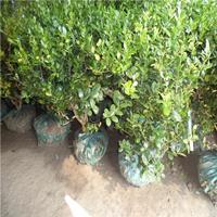 苗圃批发 无刺枸骨 无刺枸骨球 高杆 绿化工程 规格齐全