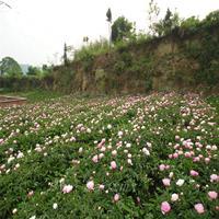 大量批发芍药花苗 芍药鲜切花 可盆栽芍药苗 观花植物
