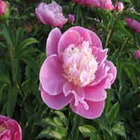 花木种植基地直销芍药苗 精品观赏芍药 白芍药