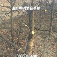 枣树品种介绍·枣树有哪些品种·枣树哪个品种*好?
