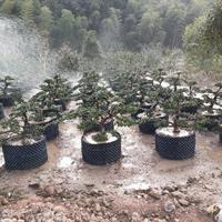 浙江地区供应造型罗汉松,罗汉松盆景,雀舌罗汉松毛胚