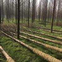 大量供应四川水杉.3-25公分水杉 树形优美 规格齐全