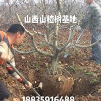 出售8公分全冠山楂树·8公分占地山楂树·8公分半冠山楂树