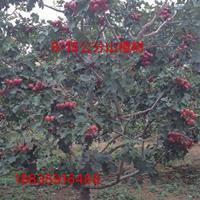 8公分山楂树·未来十年8公分山楂树详情·8公分山楂树产地介绍