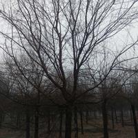 金叶榆供应,米径20公分,冠幅5米,高度9米