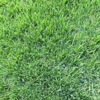 草坪、混播草坪、台湾二号、百慕大、剪股颖