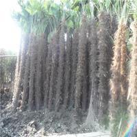 棕櫚樹基地沭陽特別多棕櫚樹現貨供應