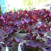 紫叶酢浆草苗圃基地江苏大量紫叶酢浆草现苗等卖
