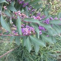 小紫珠价格,定州小紫珠厂家,小紫珠种植基地