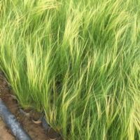 细茎针茅种植基地