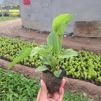 松果菊种植基地