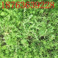 垂盆草价格供应商
