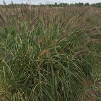 紫穗狼尾草价格供应商