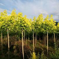 定州金叶复叶槭价格,金叶复叶槭小苗,金叶复叶槭培养基地