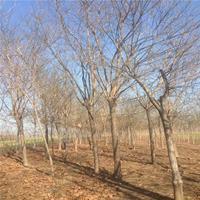 大量供应 国槐树  大规格 速生国槐树 城市绿化