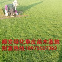 湖南郴州马尼拉草皮基地直供,大量出售马尼拉草坪,