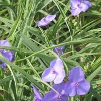 河北紫露草,价格,紫露草厂家,紫露草种植基地