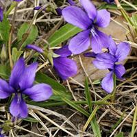 紫花地丁价格,紫花地丁厂家,紫花地丁*新