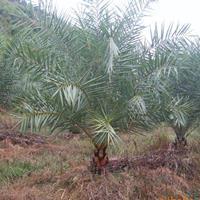 四川中东海枣,精品熟货中东海枣,大量供应