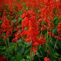 四季易种 一串红小苗 量大优惠 一串红价格 大量一串红