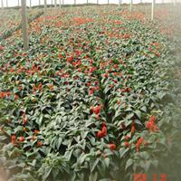 批发草花种子 一串红 爆仗红 色红鲜艳,花期又长,适应性强