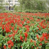 供应当年采花卉种子 一串红 庭院花卉矮串红种子批发 发芽率高