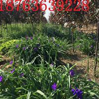 紫露草供应商报价紫露草