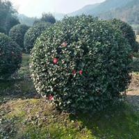 浙江茶梅球1.5-2米
