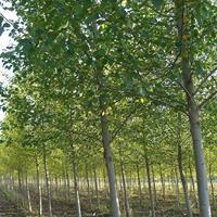 河北梓树,3-12公分梓树价格,梓树*选永兴苗圃