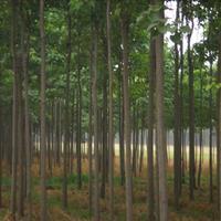 定州楸树,楸树产地,楸树直销,楸树种植基地