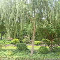 四川精品柳树,截杆柳树,大规格柳树