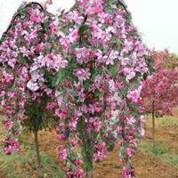 红花红叶垂枝海棠,红花红叶垂枝海棠报价,红花红叶垂枝海棠基地