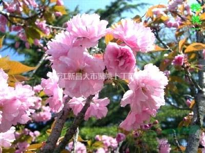 供3-5公分日本樱花