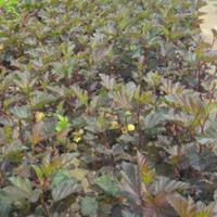 定州紫叶风箱果,紫叶风箱果供应商,紫叶风箱果种植基地