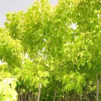 河北金叶复叶槭,金叶复叶槭3-10公分低价供应