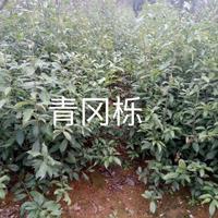 九江地区供应青冈栎