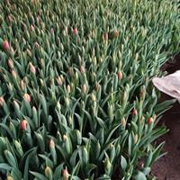 春节新上市郁金香价格多色郁金香价格郁金香工程苗批发价格