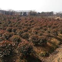 南京红叶石楠---红叶石楠球直销---红叶石楠树批发