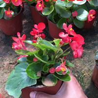 四季海棠價格四季海棠供應商