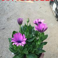 南非万寿菊【南非万寿菊价格】基地