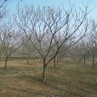 板栗樹苗圃基地江蘇特別多板栗樹現苗促銷