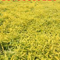 金叶莸种植基地【金叶莸】供应商报价