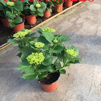 八仙花种植基地【八仙花】价格