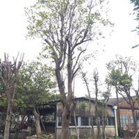 大量供应柚子树20-40公分直径