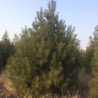 精品白皮松高度1米-6米白皮松工程绿化苗圃基地供苗