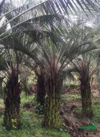 大小规格布迪椰子基地