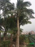 福建国王椰子批发/供应